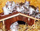 miševi