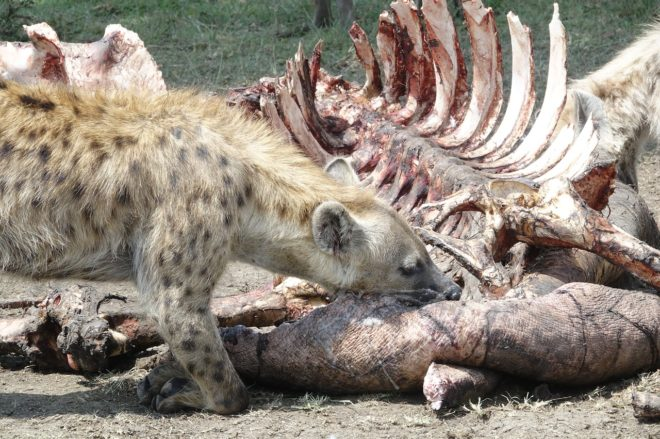 hijena